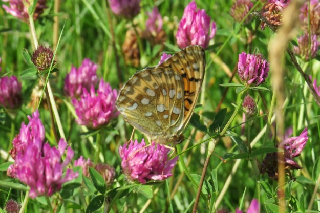 Side view of a Fritillary on a red clover flower