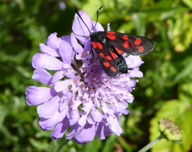 Black moth with red spots on a mauve scabious flower