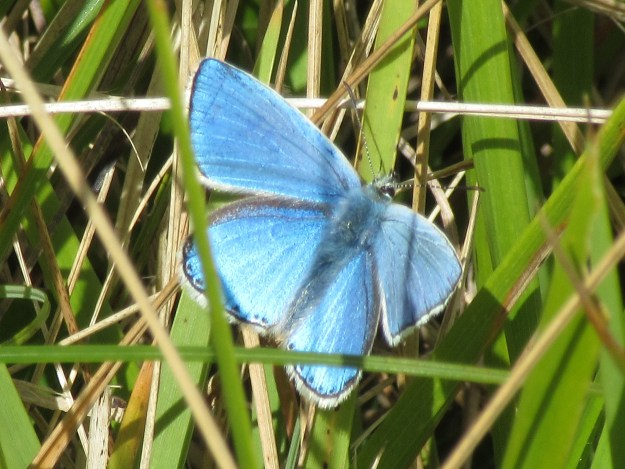 View of an Adonis Blue aberration, settled in grass, showing upper fore and under-wings, settled in grass