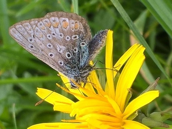 view of a late Common Blue nectaring on a yellow flower
