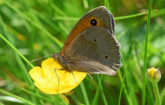 Brown and orange butterfly on a buttercup flower