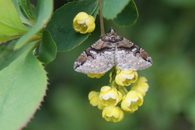 Barberry Carpet Moth