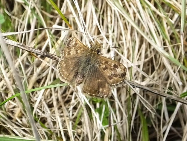 Dingy Skipper well camouflaged against dry grass