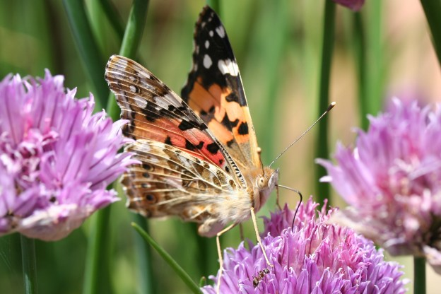Painted Lady butterfly with its proboscis into one of the flowers of a head of purple chive flowers
