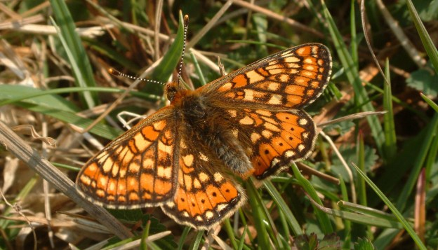 Marsh Fritillary resting on grass with its wings open