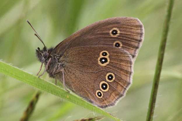 Side view of a Ringlet butterfly, with very clear rings