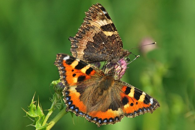 Two Small Tortoiseshells, one open-winged, the other closed