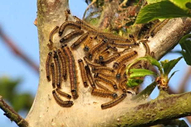 Lackey Moth caterpillars