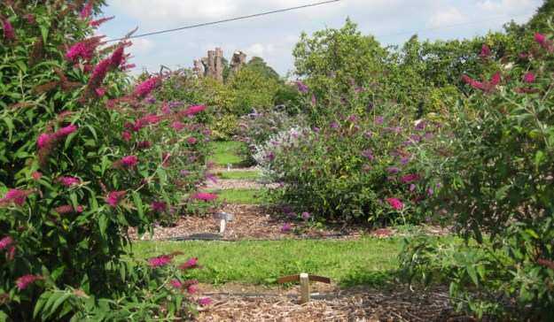 View across a field with various coloured buddleias in flower.