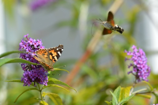 Painted Lady & Friend