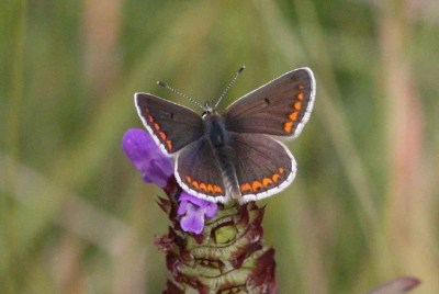 Dark brown butterfly with orange spots around the edge and white fringes