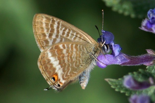Long-tailed Blue (Underside)