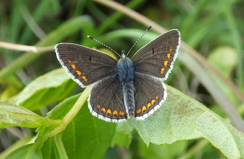 Brown Argus with wings open