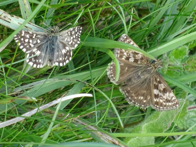Two small brown butterflies in among grass