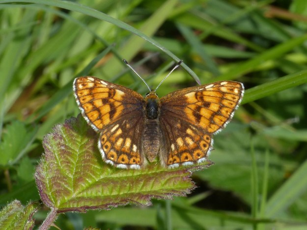 An unusually light Duke of Burgundy butterfly