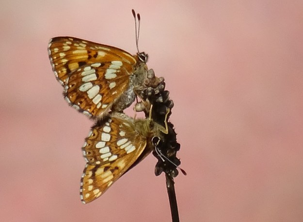 Pair of butterflies, side view, clinging to a seed head on a stalk