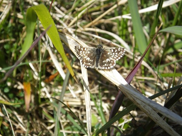 Grizzled Skipper with open wings