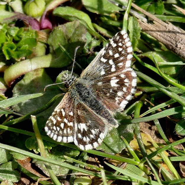 Grizzled Skipper with open wings on a grassy background
