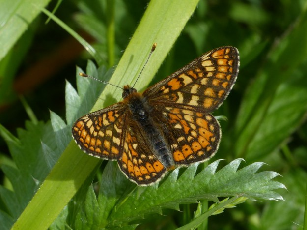 Fresh-looking Marsh Fritillary with open wings