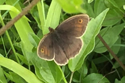 Meadow Brown with open wings