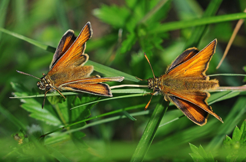 Two Small Skippers on a blade of grass.