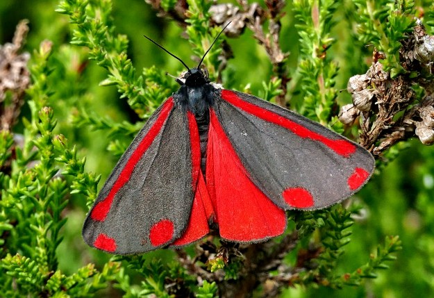 Grey and red Cinnabar moth with its wings open