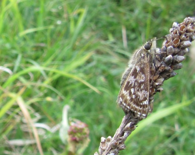 Dingy Skipper clinging to a seed head, with its wings drooping down