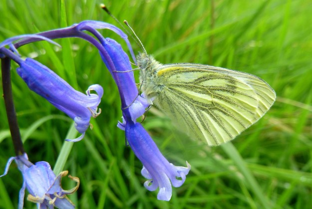Side view of a Green-veined White