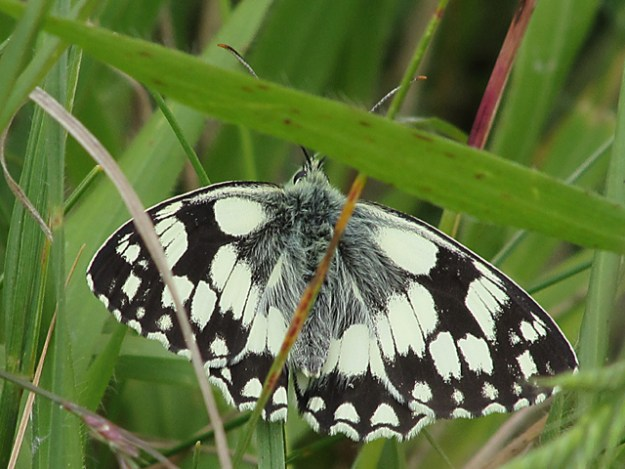 Marbled White in among grass