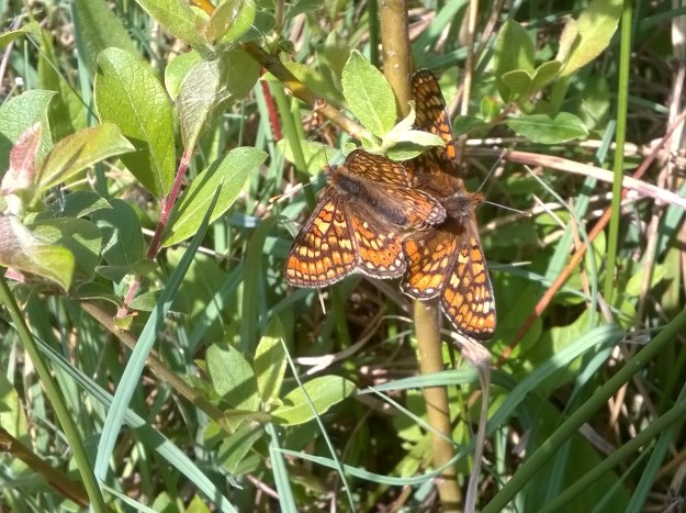 Two Marsh Fritillaries mating while holding onto a twig