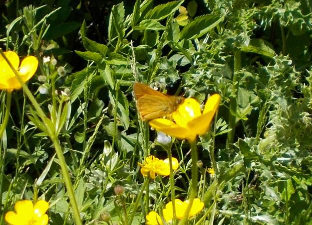 Large Skipper on a buttercup