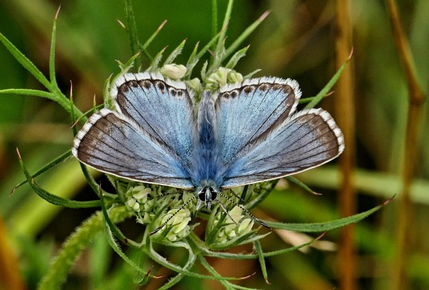 Front view of Chalkhill Blue