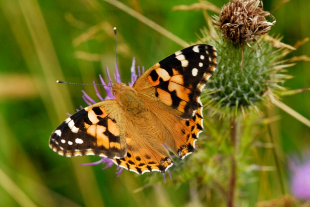 Painted Lady with open wings on a thistle.