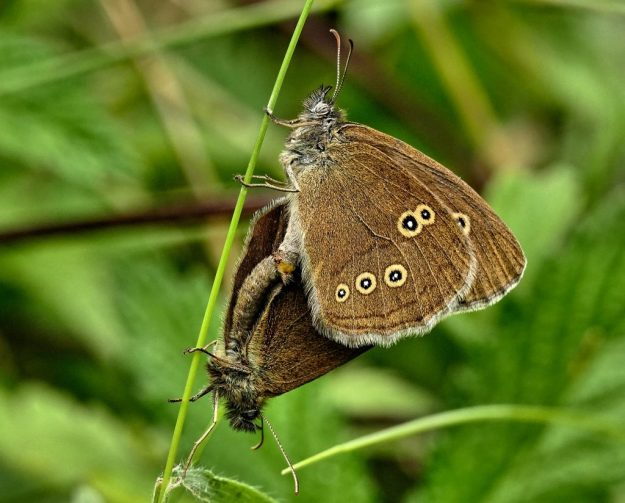 A pair of Ringlets