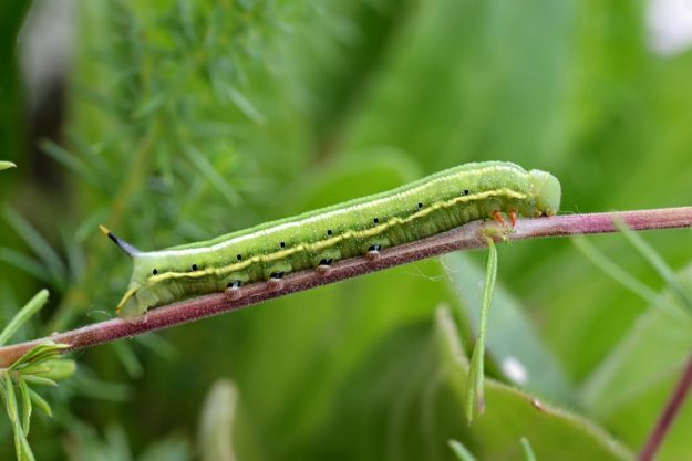 Hummingbird hawk-moth caterpillar. Photo: Andrew Cooper