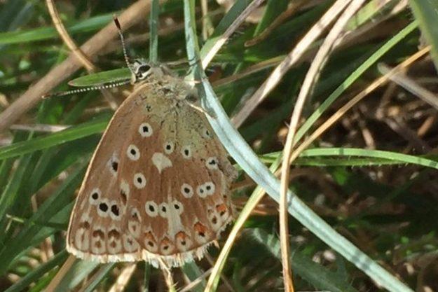 Chalk Hill Blue (female). Photo: Elaine Conlon