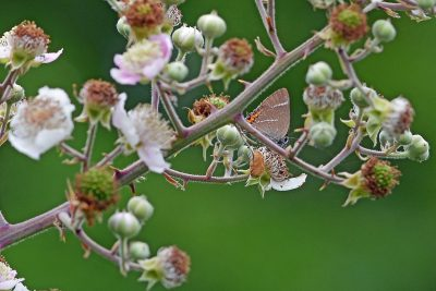 Brown butterfly well hidden on a spring of bramble flowers and young fruit.