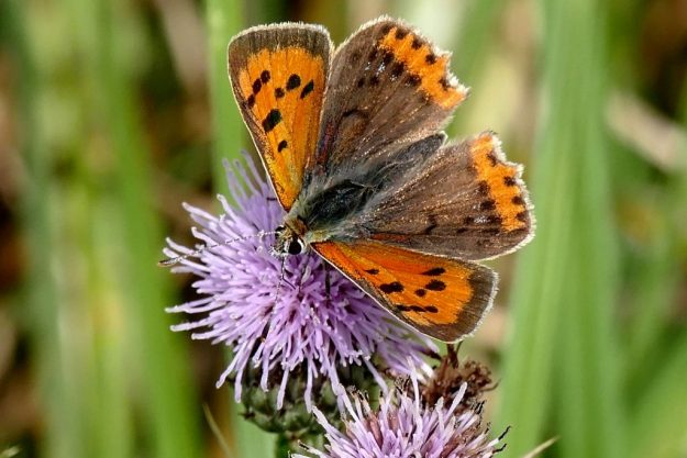 Small Copper. Photo: Mel Bray