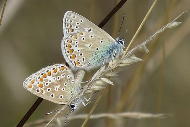 Common Blue pairing. Photo: Penny Hawes