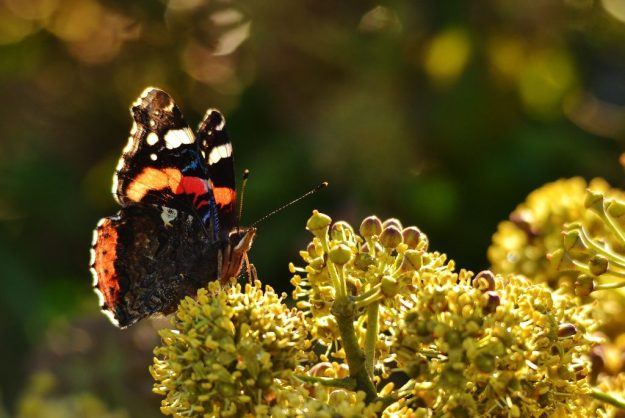 Red Admiral on Ivy by James O'Neill