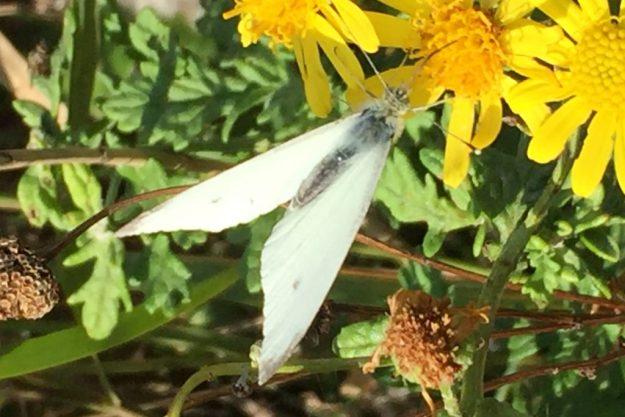 Small White. Photo: Elaine Conlon