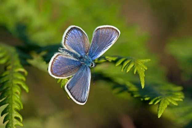 Silver-studded Blue (male). Photo: Matt Berry