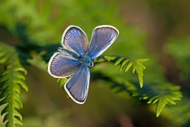 Silver-studded Blue (male). Photo: Matt Berry