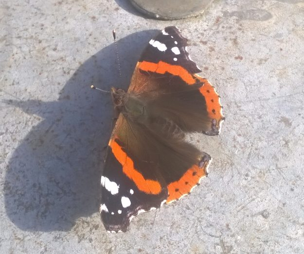 Red Admiral. Photo: Dave Law