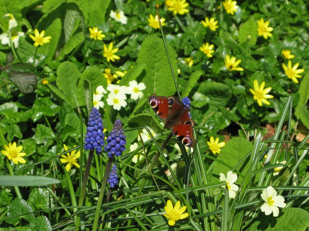 Peacock butterfly surrounded by primroses, muscari and lesser celandine flowers
