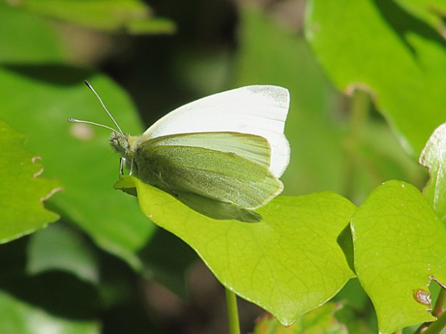 Small White perched on a leaf.