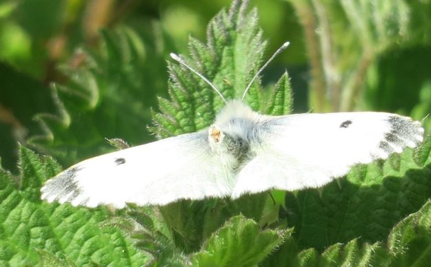 Orange-Tip (female). Photo: Lynda Lambert