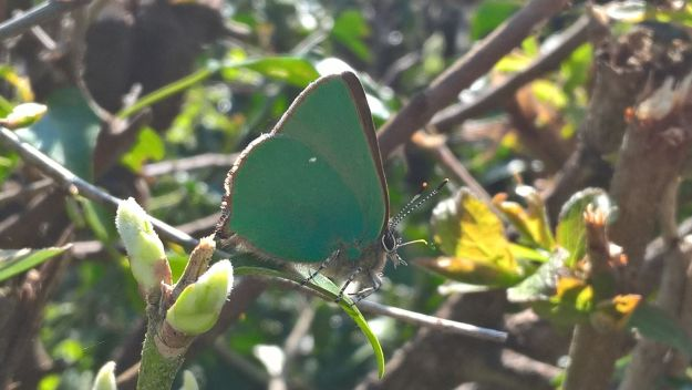 Green Hairstreak butterfly, side view