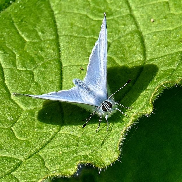 Holly Blue on a leaf.