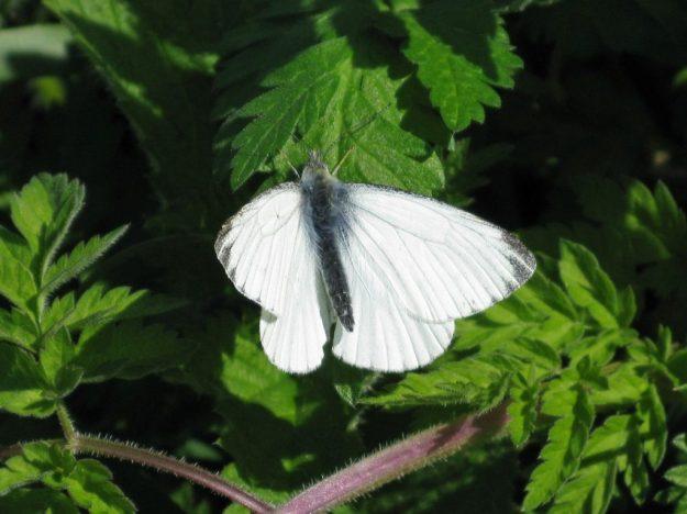 Small White. Photo: Brian Arnold
